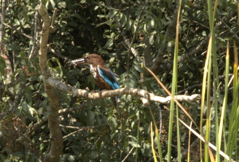 kingfisher-w-frog